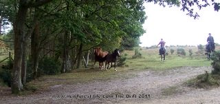 New Forest ponies The Drif