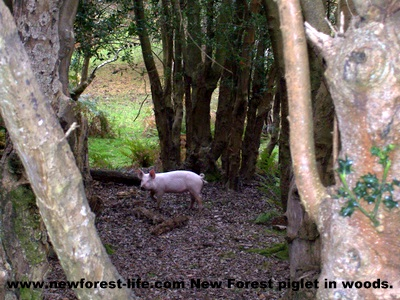 New Forest Piglet in wood