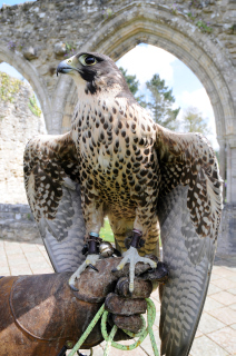 New Forest Beaulieu Falconry Events