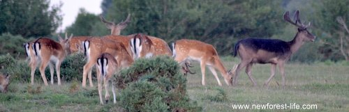 New Forest Fallow deer herd of mixed colours