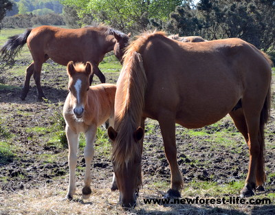 New Forest foal peeping out from behind mum, born a few days before