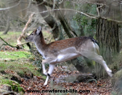 New Forest Deer on the run