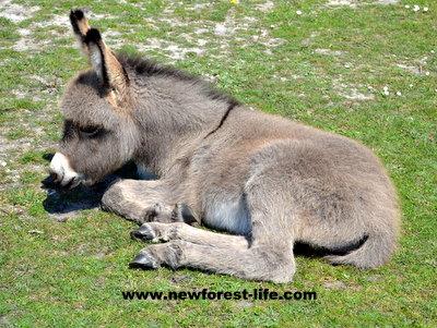 New Forest Donkey at Hatchet Pond