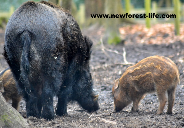 New Forest Wildlife Park wild boar and baby