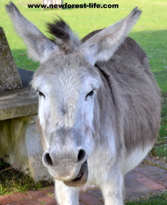 New Forest donkey having a yawn!