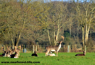 New Forest Fallow deer stag at Ober Water