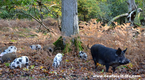 New Forest pig and piglets out on Pannage (acorn eating)