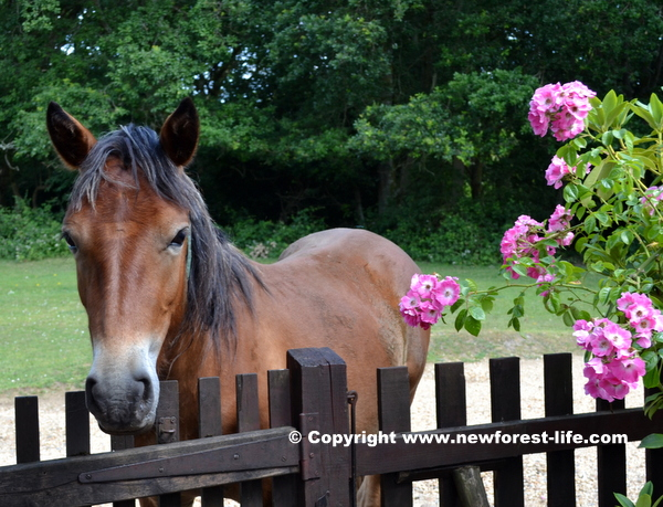 My New Forest pony and roses