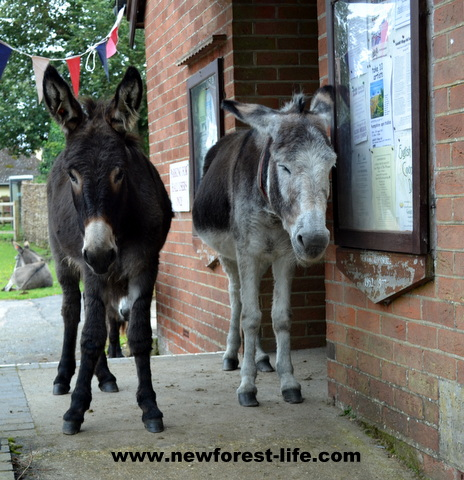 New Forest donkeys waiting for the village hall to open - W.I. members perhaps?