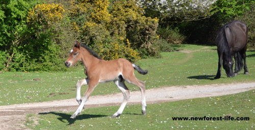 New Forest foal finding its feet! Please drive slowly near them.