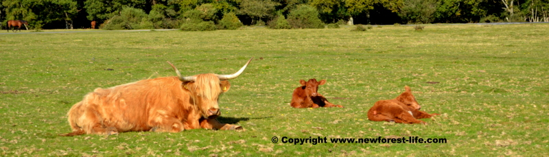 New Forest Highland cow and 2 calves