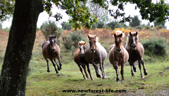 New Forest National Park ponies on the run