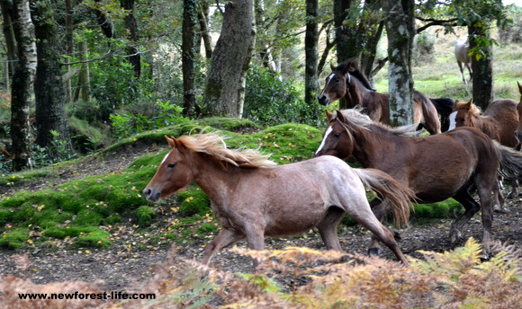 New Forest ponies in the Drift