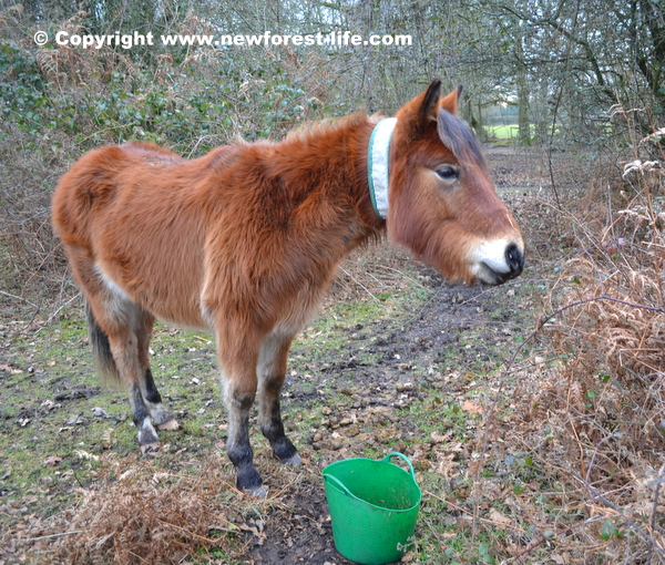 New Forest pony recovering with his bucket of food!