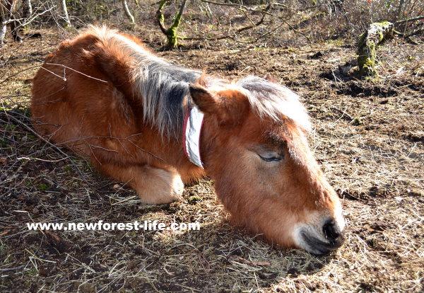New Forest pony enjoying a snooze