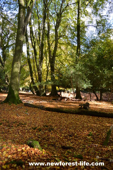 The forest floor is covered in autumn colours