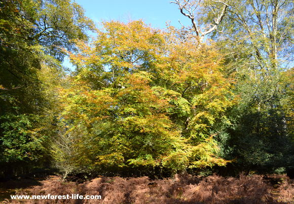 Contrast in New Forest autumn shades
