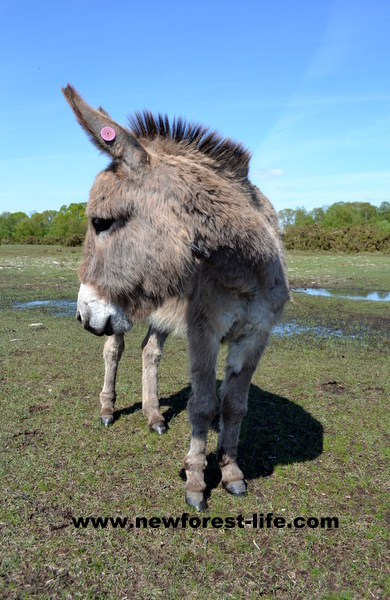 New Forest donkey