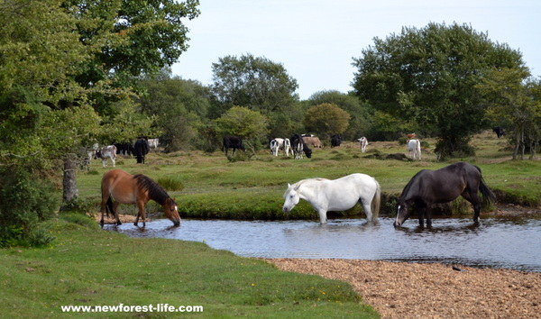New Forest ponies drinking on a summer day
