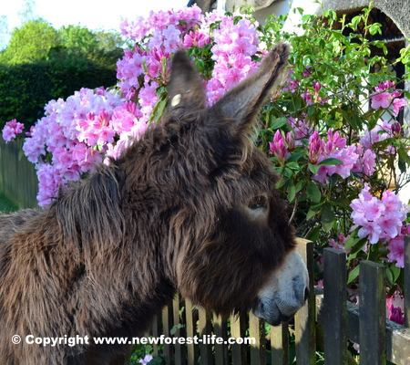 New Forest donkey - pretty in pink?