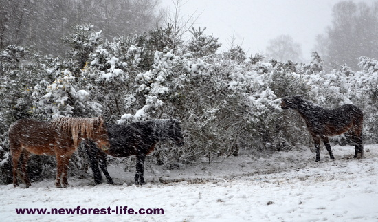 New Forest National Park ponies in a blizzard