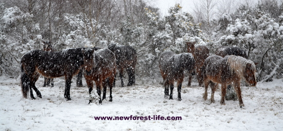 New Forest ponies have a hard winter some years