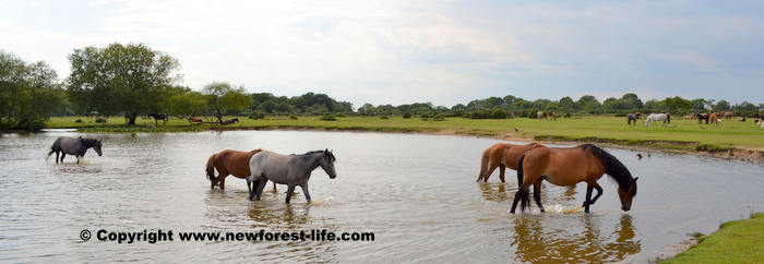 New Forest ponies enjoying a splash at Janesmoor Pond