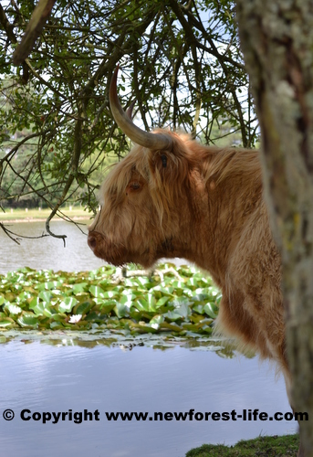 New Forest Highland cow near Janesmoor Pond