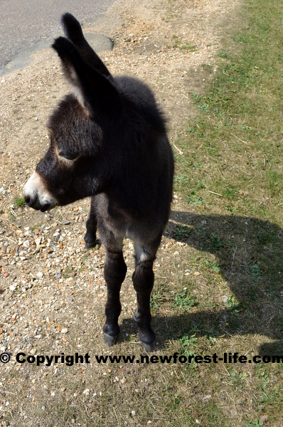 New Forest donkey foal
