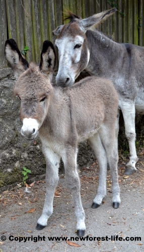 New Forest donkey and foal