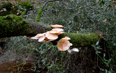New Forest 2016 fungi beautifully hanging from an uprooted branch.