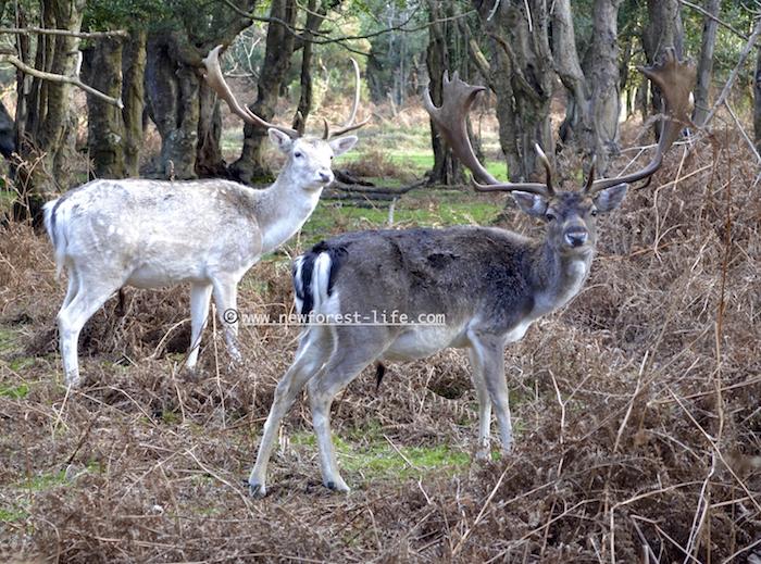New Forest deer near Bolderwood