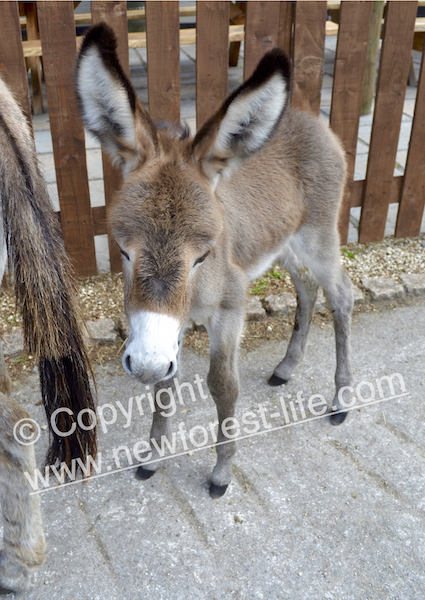 New Forest donkey foal - not the one recently killed but is your speeding worth taking a little life like this?