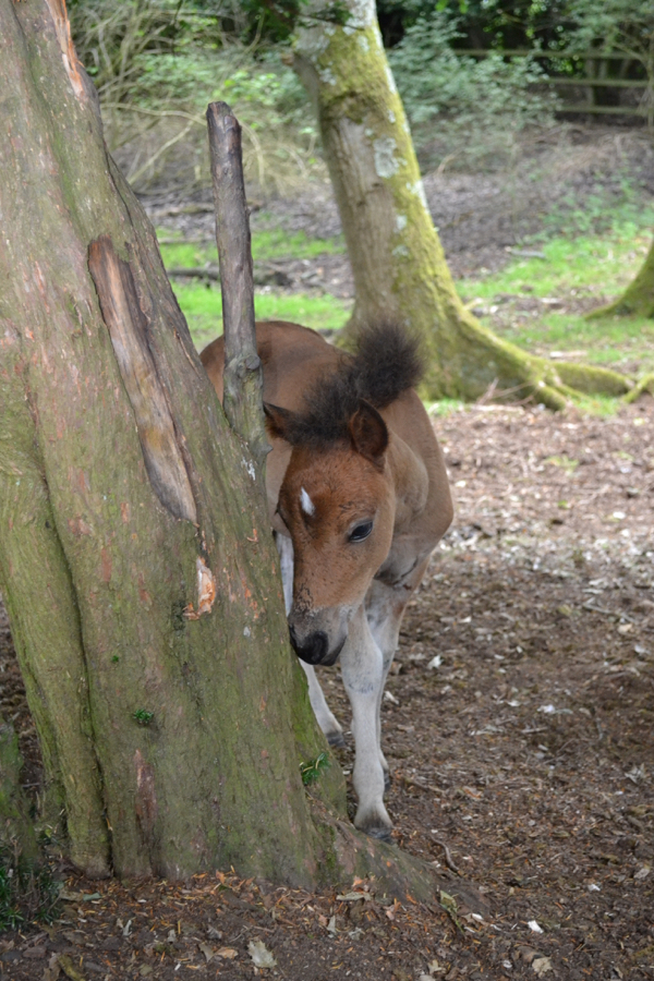 New Forest foal investigating a tree - should I nibble or play with it?