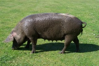 New Forest pig after a mud bath in village pond!