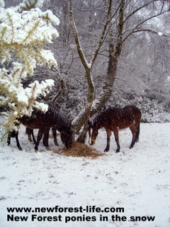 New Forest ponies in the winter sno