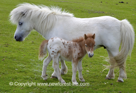 New Forest Shetland foal and mum at Woodgreen