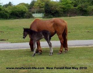 New Forest foal and mum at Hyde