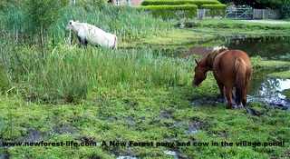 New Forest pony and cow in a muddy lake.