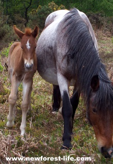 New Forest pony-one of our locals called Roanie and her foal